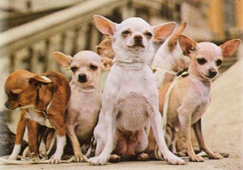 ♕ SPIRIT BRINGERS: EMPYREAN REALM. (SAGA DE UNUKALHAI) - Página 3 Chihuahuagang