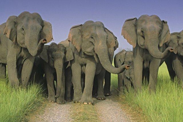 Three cheers! Indian Elephants scentingCorbett National Park, India.