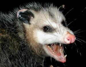 possum-300x235