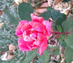 RoseFrostCrop