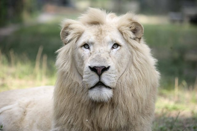 white-lion-pictures