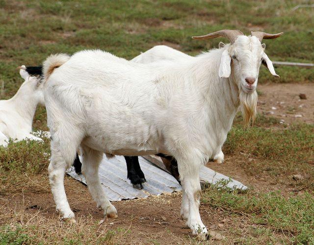 1280px-billy_goat