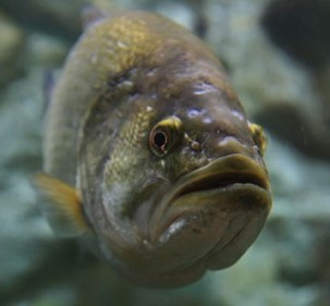 largemouth-bass-underwater