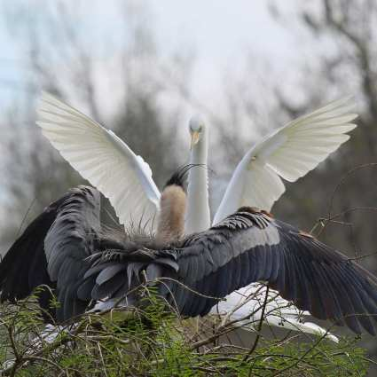 Fighting Egret and Heron