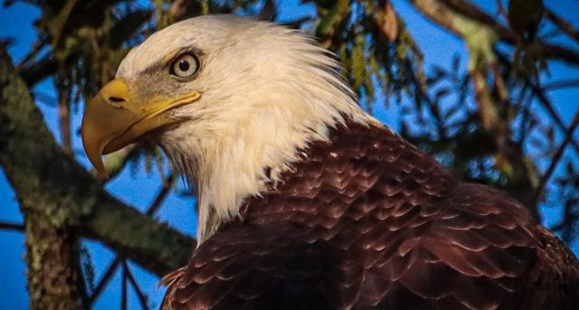bald eagles SC2